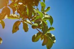 Natural avocado tree branch Stock Photo
