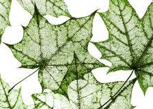 Natural backdrop of green fishnet transparent weightless skelet. The natural backdrop of green fishnet transparent weightless skeletons of maple leaves isolated Royalty Free Stock Images