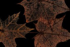 Natural backdrop of the hollow transparent weightless skeletons. Of maple leaves isolated on black Royalty Free Stock Photo