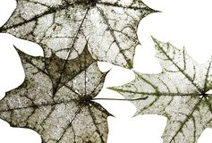 Natural backdrop of the hollow transparent weightless skeletons. Of maple leaves isolated on white Royalty Free Stock Images