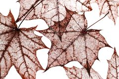 Natural backdrop of red fishnet transparent weightless skeleton. The natural backdrop of red fishnet transparent weightless skeletons of maple leaves isolated on Royalty Free Stock Photos