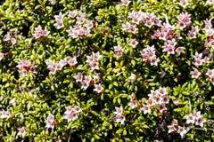 Natural background with Alpine azalea Kalmia procumbens. Kamchatka Peninsula, Russia
