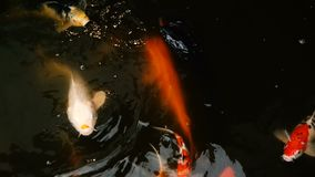 Vibrant Colorful Japanese Koi Carp fish swimming in traditional garden pond. Chinese Fancy Carps under water surface.