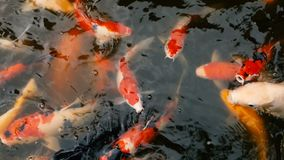 Vibrant Colorful Japanese Koi Carp fish swimming in traditional garden pond. Chinese Fancy Carps under water surface. stock video footage