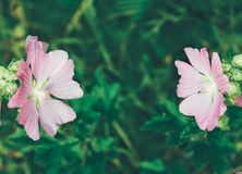 Natural background with beautiful pink wild flowers lavatera Thuringian Stock Photography