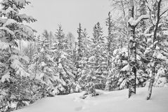 Beautiful winter forest with spruce trees Royalty Free Stock Photography