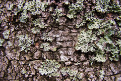 Natural background. Birch bark,lichen on a birch Royalty Free Stock Images