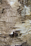Natural background. Birch bark, motley bark Royalty Free Stock Image