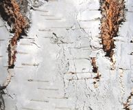 Natural background of birch bark Stock Photo