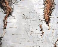 Natural background of birch bark Stock Photo