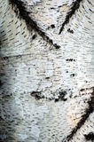Natural background: birch bark, prepared for use: paintings, to. Manufacturing of decorative hand-made articles, and so on Royalty Free Stock Image