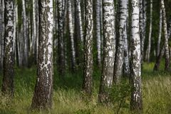 Natural background, birch grove, forest, summer birchwood, Beautiful landscape. non-urban,. Birch grove in the forest, Natural background - a summer birchwood royalty free stock images