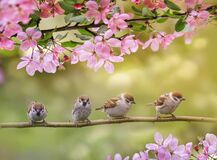 background with birds, sitting on branches with pink Apple blossom in spring in may Sunny garden