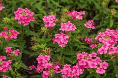 Natural background. Blooming the beautiful pink flowers.  stock photography