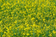 Natural background: blooming canola Stock Image