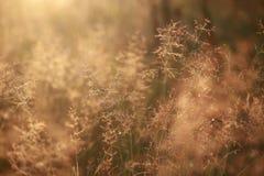 Natural background blur, at dawn, golden, grass, dew Stock Photo