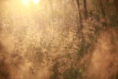 Natural background blur, at dawn, golden, grass, dew Royalty Free Stock Image