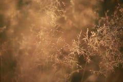 Natural background blur, at dawn, golden, grass, dew Stock Images