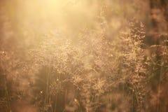 Natural background blur, at dawn, golden, grass, dew Stock Photos