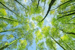 Natural background bottom view of the crowns and the tops of birch trees stretch to the blue clear sky with bright green young stock photography