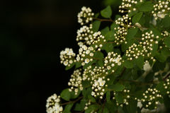 Natural background with branches of white spirea. Floral natural background with branches of white spirea Royalty Free Stock Photography