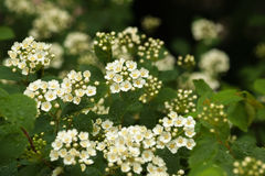 Natural background with branches of white spirea. Floral natural background with branches of white spirea Royalty Free Stock Photo