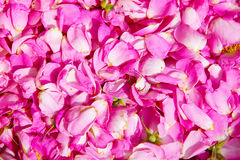 Natural background - bright pink petals of wild rose flower Stock Images