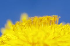 Natural background with bright yellow spring sunny flower dandelion closeup honey-covered pollen grows in a spring clear sunny day. Yellow spring sunny flower stock photography