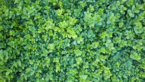 Natural background. Buxus, box or boxwood with evergreen leaves.  royalty free stock photography