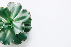 Isolated the green succulent plants on a white background. royalty free stock photo