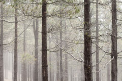 Natural background of Canarian Pine tree trunks. Some mist Stock Photography