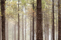 Natural background of Canarian Pine tree trunks. Some mist Royalty Free Stock Photo