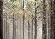 Natural background of Canarian Pine tree trunks. Some mist Stock Image