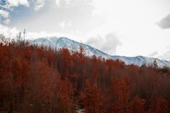 Natural background of the changing seasons - the golden red trees in the forest and the snowy white tops in mountains. Space for text stock photo