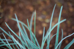 Natural background. Close-up of Grass against red blurred background Stock Photography