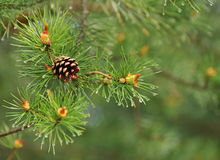 Natural background, close-up pine on the green Royalty Free Stock Photos