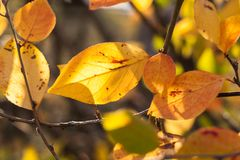 Natural background. Close-up sunlit yellow autumn leaves. Royalty Free Stock Images