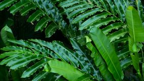 Beautiful green leaves blowing in the wind in tropical jungle rain forest. Natural background, close up of tropical palm leaves moving in jungle slow motion stock video