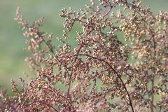 Natural background. Closeup of red autumn grass Royalty Free Stock Photography