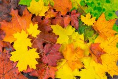 Colorful beautiful autumn maple leaves. Natural background - colorful beautiful autumn maple leaves royalty free stock photography