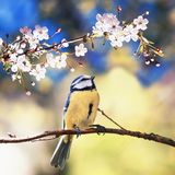 Square natural background with cute bird chickadee sitting among the white flowers of the cherry in the may spring fragrant garden royalty free stock image