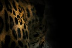 Natural background from darkness leopard spots. Selective focus blur Stock Photos
