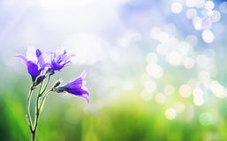 Beautiful natural background with delicate lilac flowers bells grow on a green summer meadow with brightly shimmering glare and. Natural background with delicate stock photography