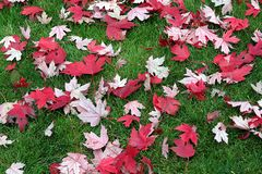 Natural background with dried red maple leaves on green grass. royalty free stock photos
