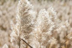 Natural background. Dry fluffy autumn grass Stock Image