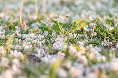 Natural background. Fallen white and pink flowers of the chestnut tree at the spring grass. Close-up, selective focus.  royalty free stock photography