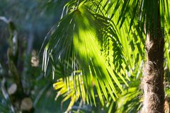 Natural background with leaves of fan palms in the foreground. Natural background with fan palm leaves in the foreground on a Sunny day Stock Photography