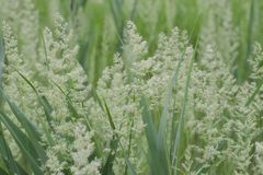 Natural background of field grass. Green meadow. Soft focus royalty free stock photography