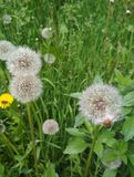Natural background, fluffy dandelions stock photography
