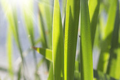 Natural background with a fly and reeds Royalty Free Stock Photos